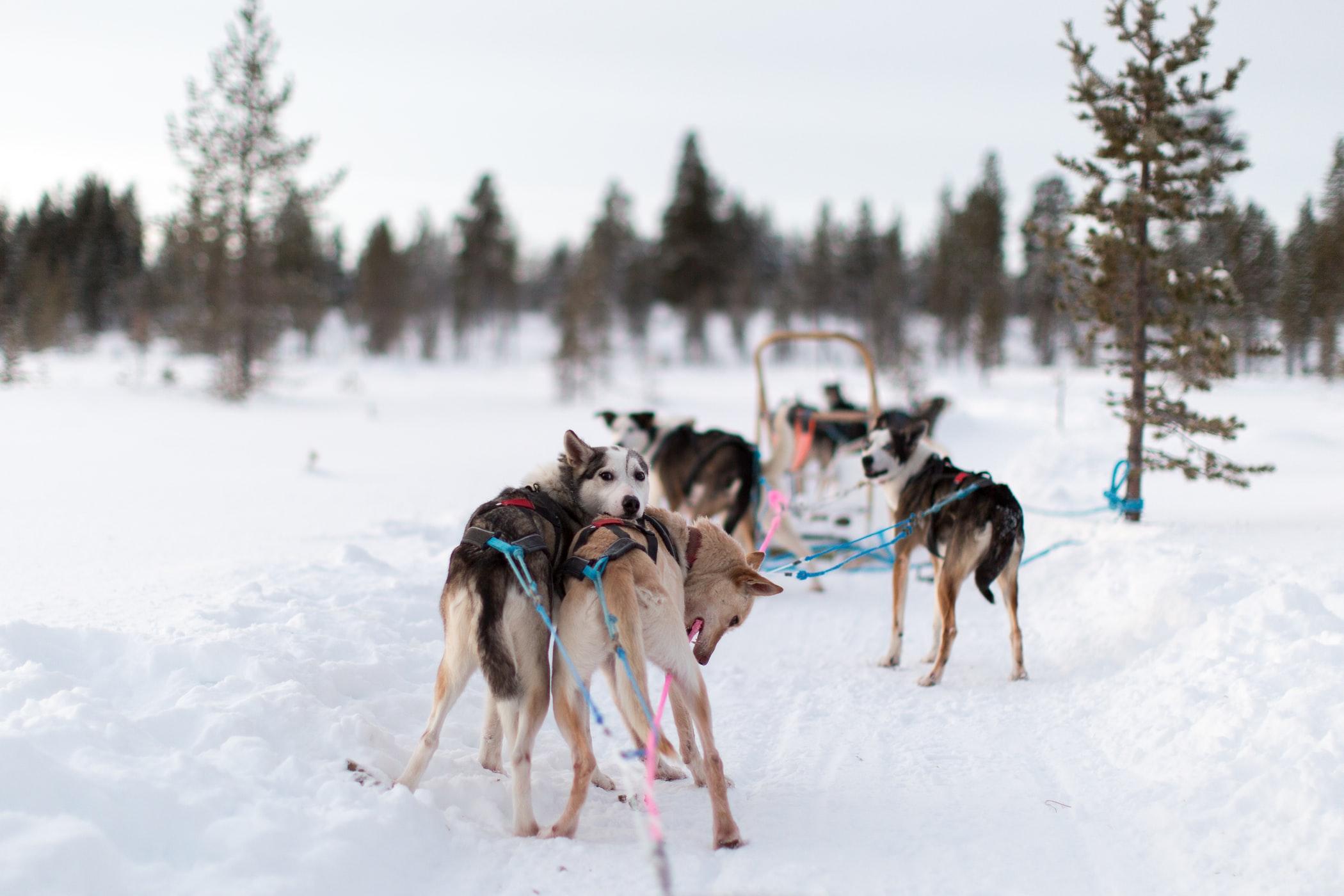 Dog sledge ride